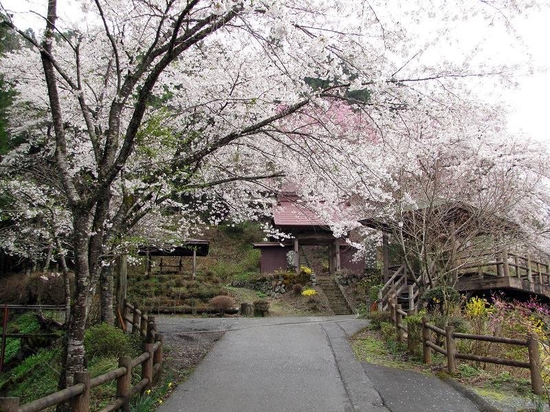 秩父・荒川の桜3