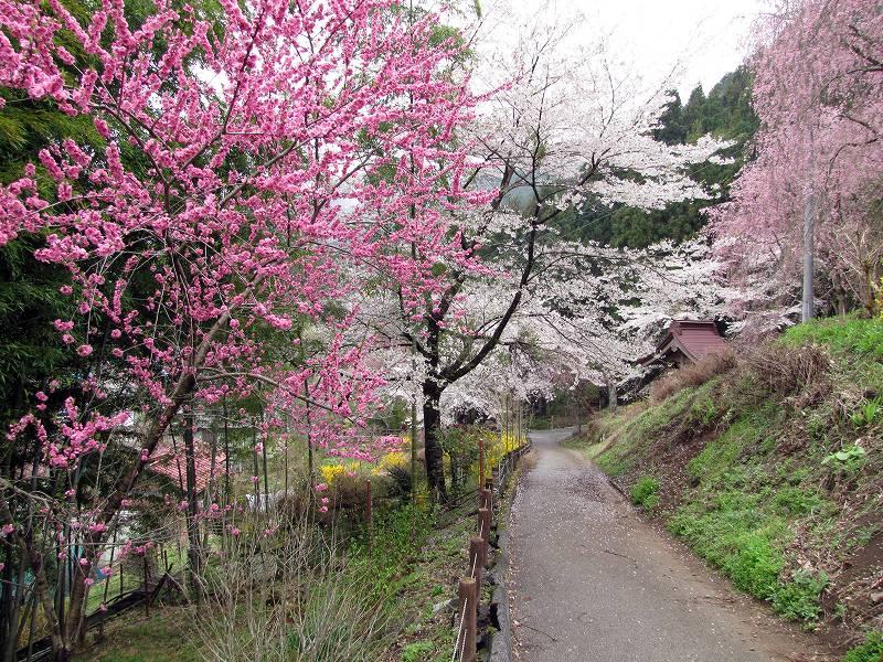 秩父・荒川の桜5