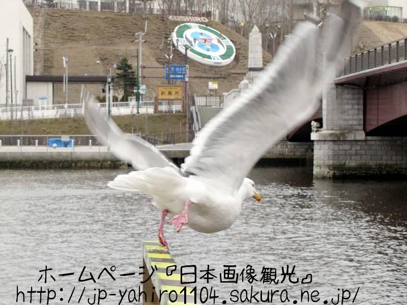 北海道・釧路市の幣舞橋を飛び立つカモメ