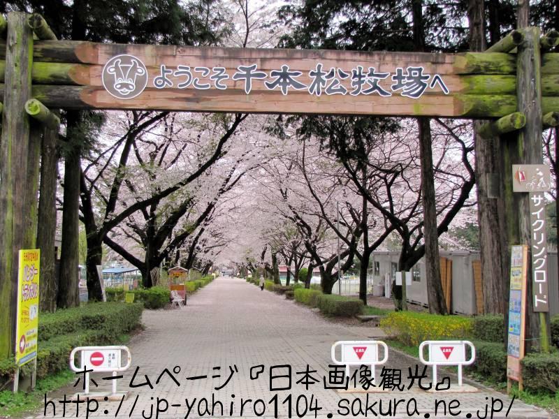 栃木・那須、千本松牧場の桜