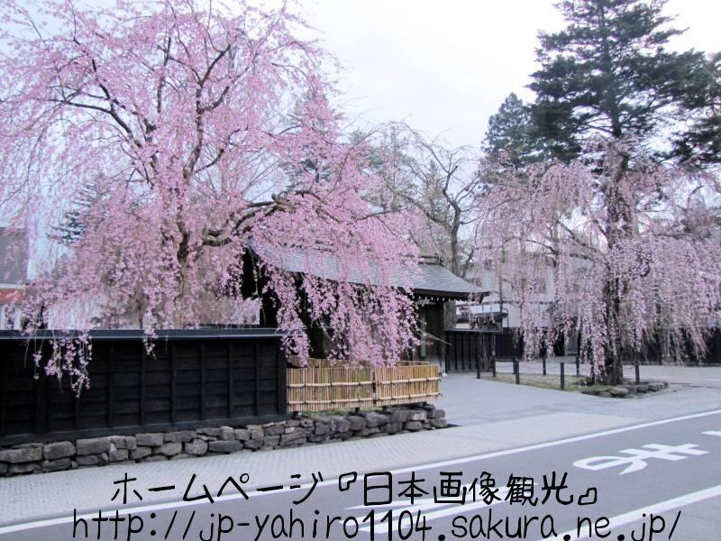 秋田・角館武家屋敷と桜1