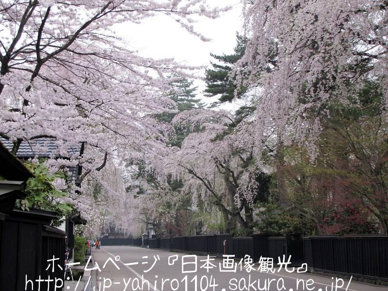 秋田・桜満開の角館1