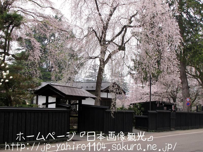 秋田・桜満開の角館2