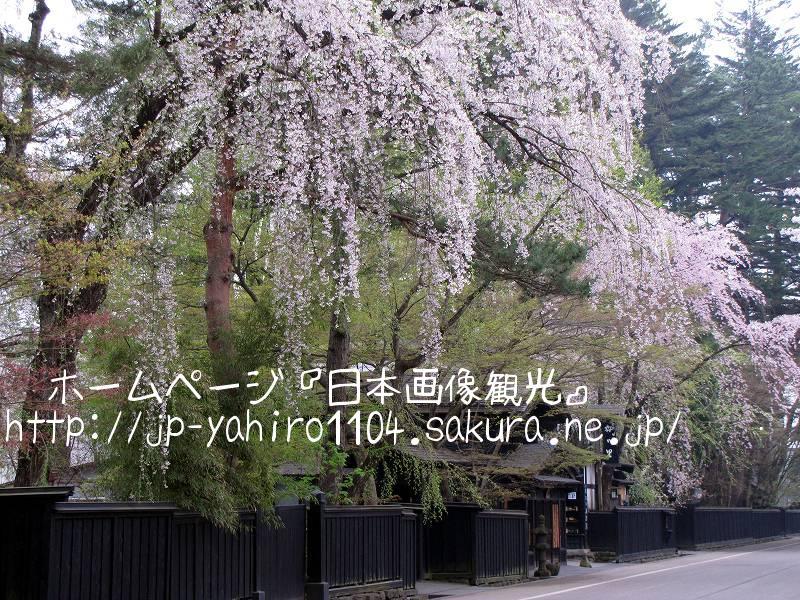 秋田・桜満開の角館4