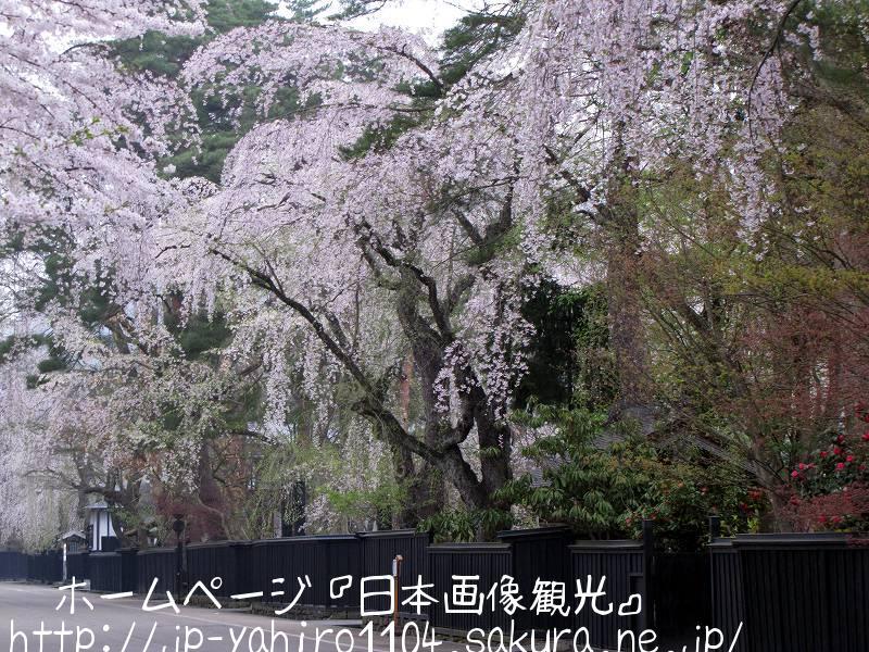 秋田・桜満開の角館3