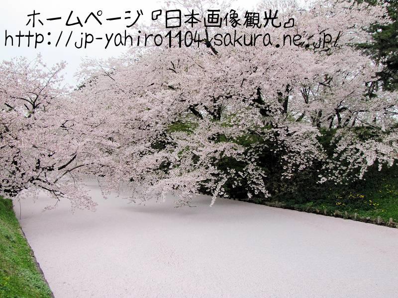 青森・ピンクに染まった弘前城外濠2