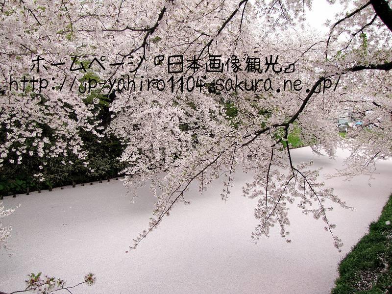 青森・ピンクに染まった弘前城外濠3