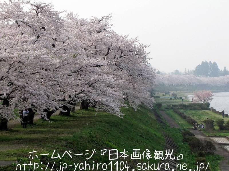 秋田・角館、桧木内川の桜堤