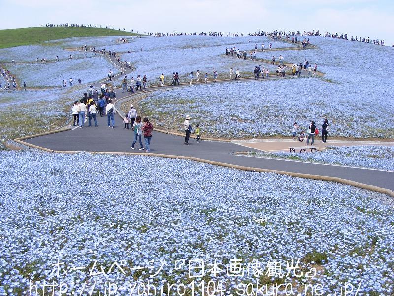 茨城・国営ひたち海浜公園のネモフィラの花1