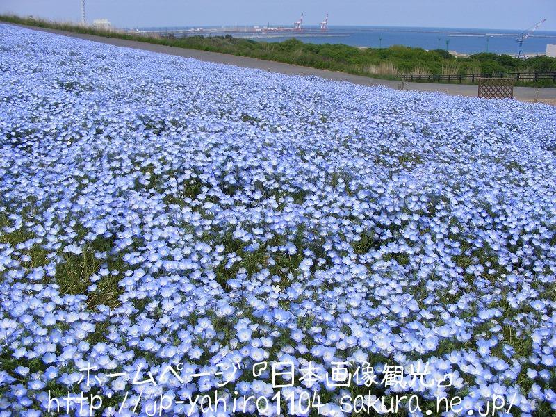 茨城・国営ひたち海浜公園のネモフィラの花2