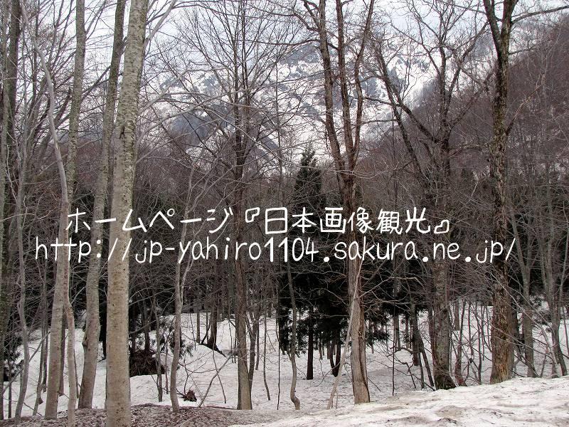 秋田・白神山地、岳岱自然観察教育林のブナ林