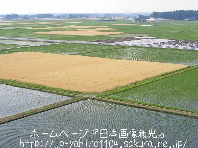 栃木・高根沢町のパッチワーク田んぼ1