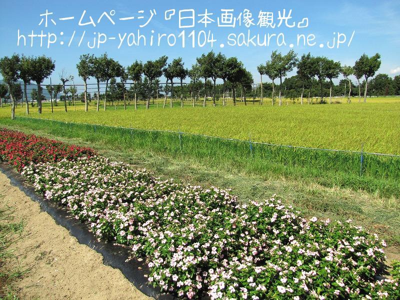 新潟・収穫直前の田んぼと夏井のはざ木1