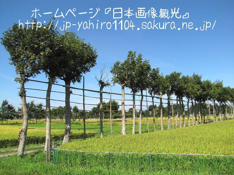新潟・収穫直前の田んぼと夏井のはざ木2