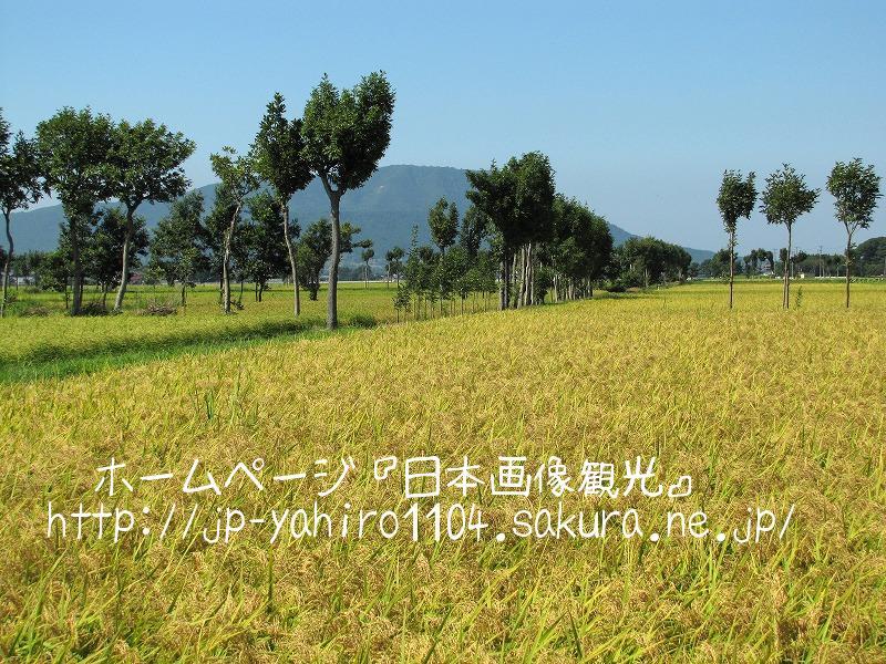新潟・収穫直前の田んぼと夏井のはざ木4