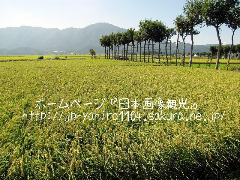 新潟・収穫直前の田んぼと夏井のはざ木3
