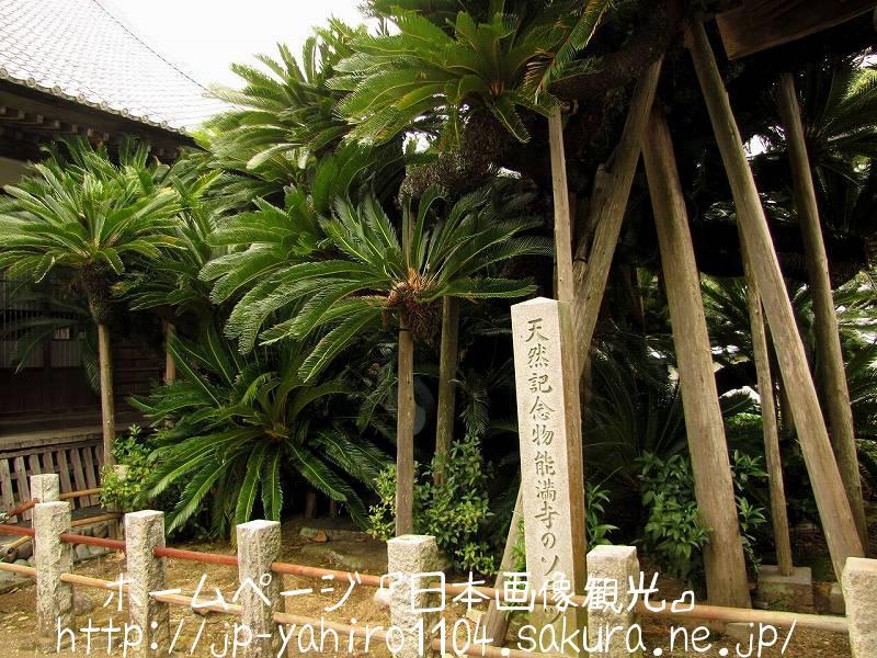 静岡・日本三大ソテツ、能満寺のソテツ