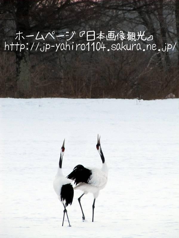 北海道・釧路湿原、夕暮れのツルたち2