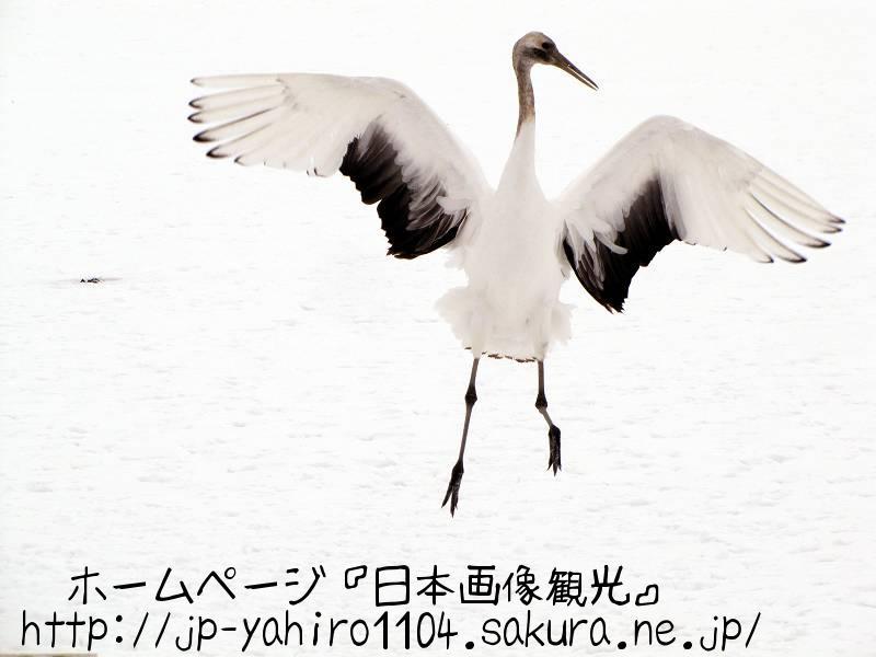 北海道・朝のタンチョウ2