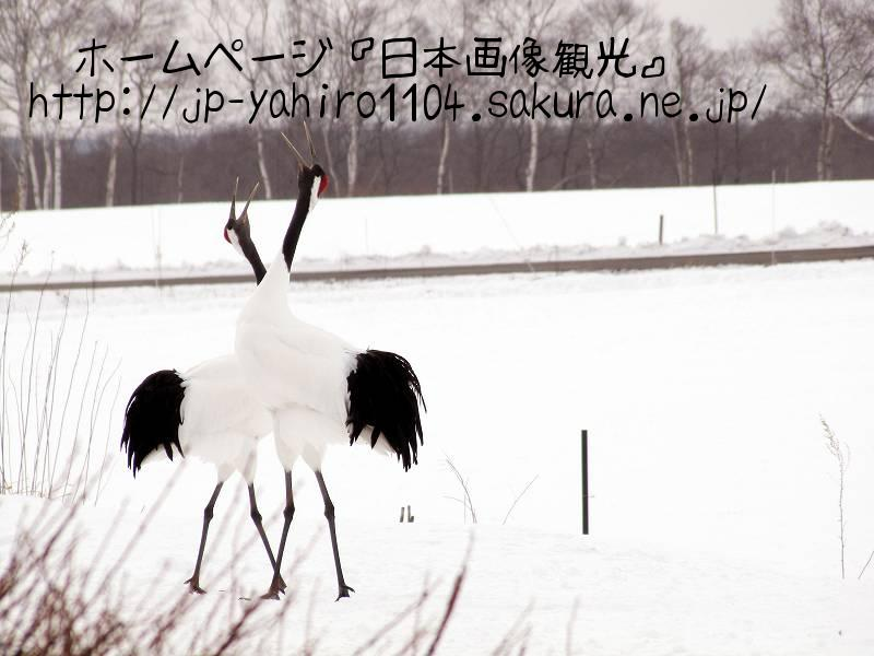 北海道・朝のタンチョウ3