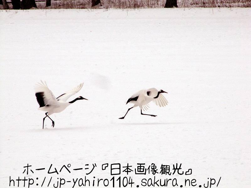 北海道・朝のタンチョウ4
