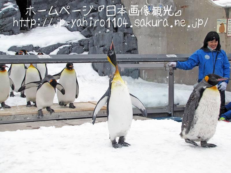 北海道・旭山動物園名物ペンギンの散歩1