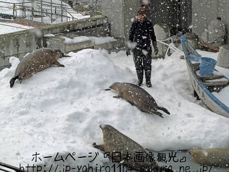 北海道・旭山動物園のあざらし館1