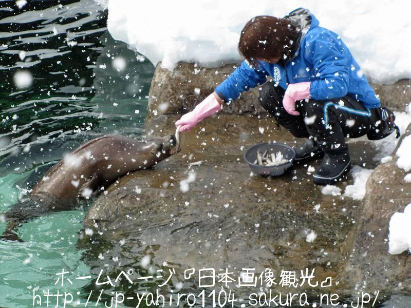 北海道・旭山動物園のあざらし館2