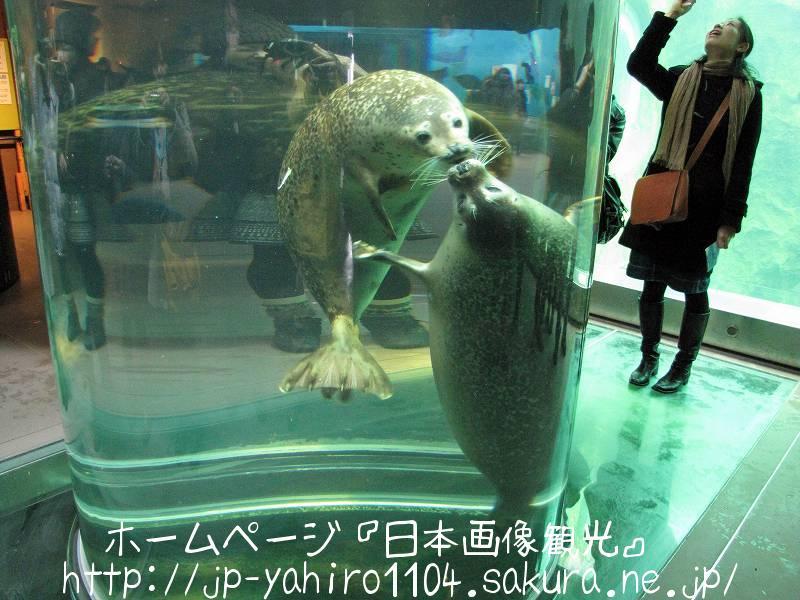 北海道・旭山動物園のあざらし館4
