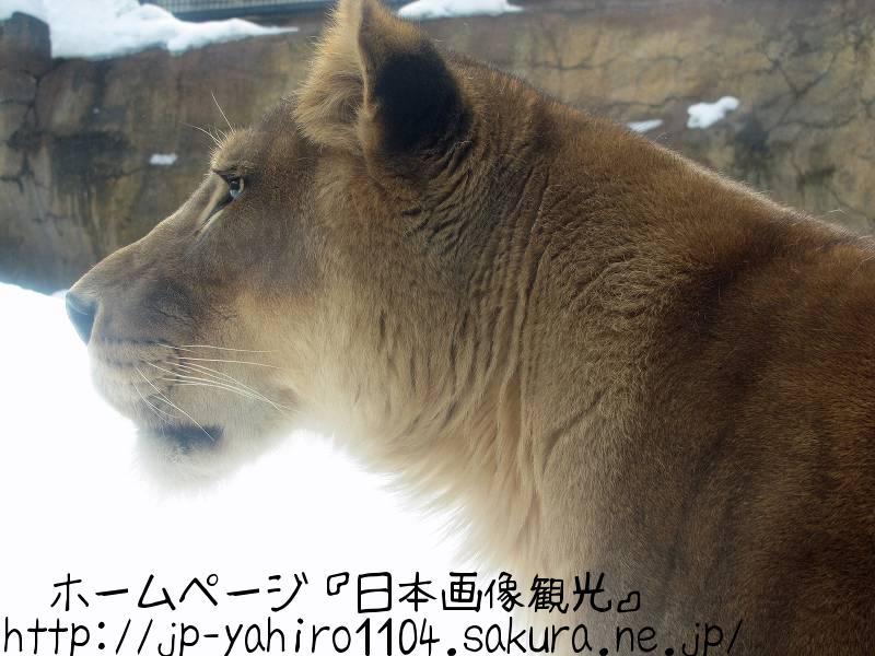 北海道・旭山動物園の動物たちのドアップ写真3