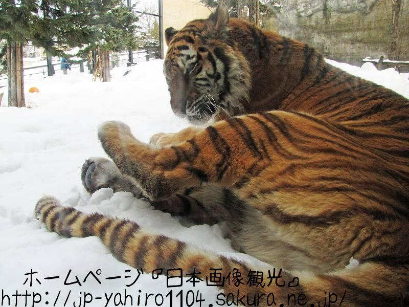 北海道・旭山動物園の動物たちのドアップ写真4