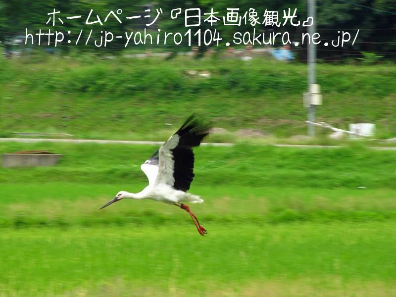 兵庫・豊岡、田んぼの中のコウノトリ1