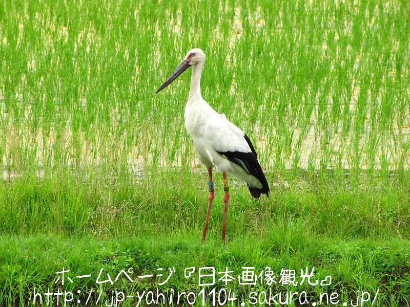 兵庫・豊岡、田んぼの中のコウノトリ2