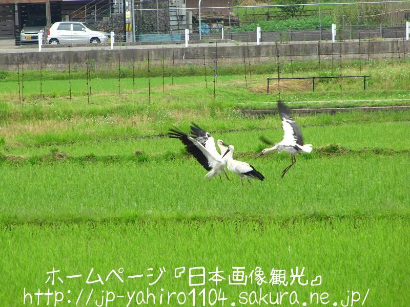 兵庫・豊岡、田んぼの中のコウノトリ3