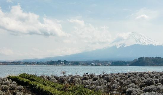 ラベンダー 富士山