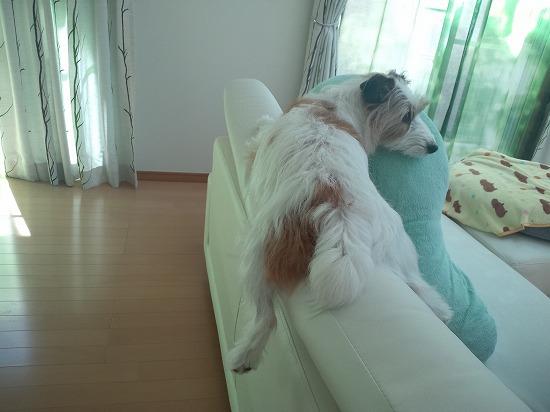 ソファー犬