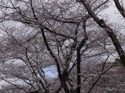 上野の桜.jpg