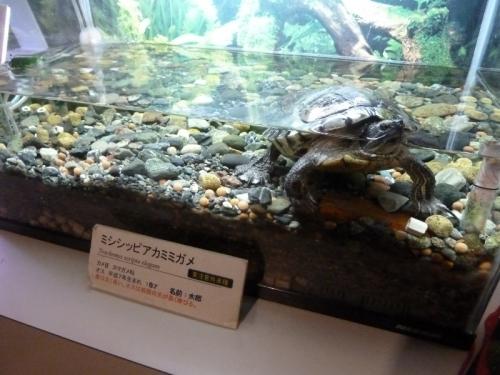 ミシシッピアカミミガメ『太郎』