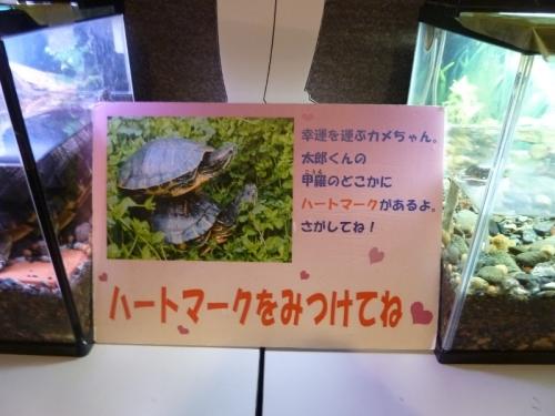 太郎くんの甲羅のどこかにハートマークがあるという案内。