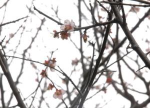 120229梅の花_035