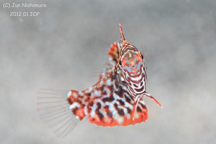 201201_ノドグロベラ幼魚
