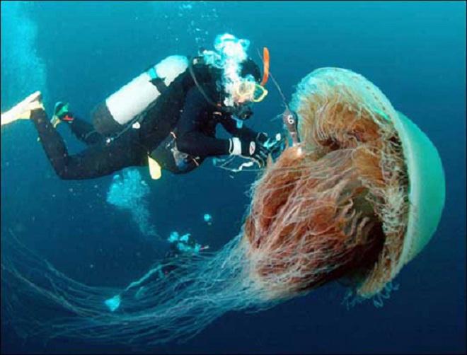giant_jelly_fish.jpg
