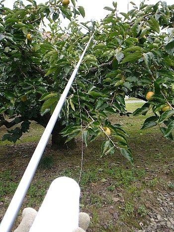 柿糸張り111002