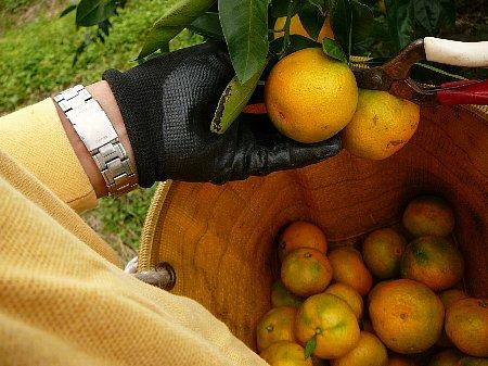 ミカンの収穫始め111014