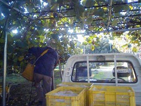 ○キウイ収穫④111122