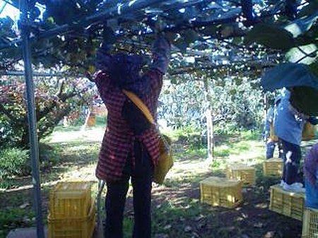 ○キウイ収穫②111122