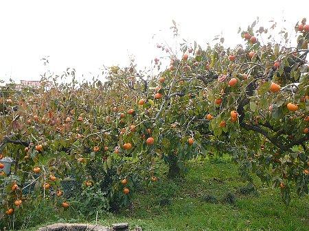 叔母さんの富有柿