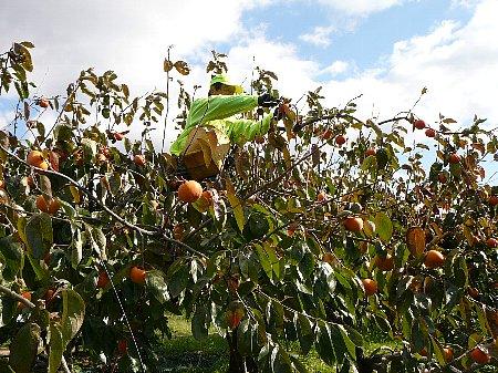 富有柿収穫111125