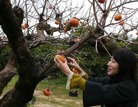 山上さん柿収穫