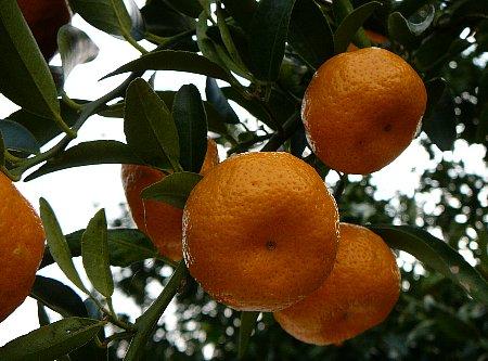 葉付きタチバナ着果果実
